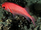 Myripristis hexagona Doubletooth soldierfish New Caledonia Two pairs of tooth patches