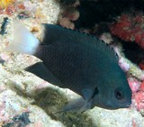 Pomacentrus nagasakiensis Nagasaki damselfish New Caledonia fish white tail