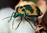 Tectocoris diophthalmus stink bugs Insect New Caledonia scent glands which produce a bad smell