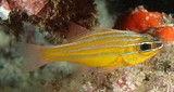Ostorhinchus properuptus Southern orange-lined cardinal fish New Caledonia five narrow silvery stripes on body