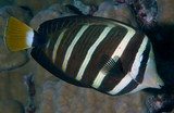Zebrasoma velifer Sailfin tang New Caledonia surgeon fish lagoon