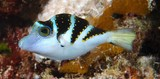 Canthigaster axiologus juvenile New Caledonia Pacific Crowned Toby orange spots