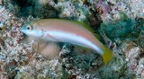 Thalassoma lutescens Lime green wrasse juvenile New Caledonia  Initial phase body yellow with light vertical red lines