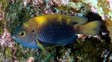 Pomacentrus Vaiuli Princess damselfish New Caledonia Special color