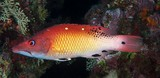 Bodianus dictynna Redfin hogfish New Caledonia body reddish brown anterodorsally