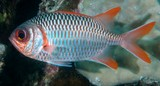 Myripristis violacea Lattice soldierfish New Caledonia silvery-violet sheen, orange tips on the fins