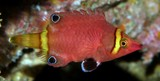 Wetmorella nigropinnata Yellow-banded possum wrasse New Caledonia Fresh specimens grayish brown to reddish brown