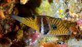 Canthigaster ocellicincta Circle-barred puffer Shy toby New Caledonia Very secretive fish