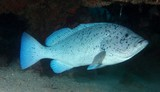 Epinephelus cyanopodus Speckled blue grouper fairy basslets New Caledonia big fish