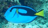 Paracanthurus hepatus blue surgeonfish Acanthurinae New Caledonia aquarium fishes trade