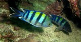Abudefduf vaigiensis Five-banded sergeant-major Oman fish