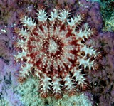 Acanthaster planci juvenile coral eat by crown-of-thorns starfish New Caledonia lagoon