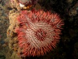Acanthaster planci Crown of thorns starfish New Caledonia Cryptic on coral areas and reef patches