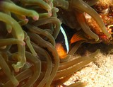 Yellowtail clownfish - Ras Marovi - Oman Sea