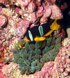 Yellowtail clownfish - Oman sea