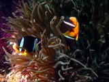 Clown Fish - Oman sea