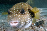 Arothron hispidus White-spotted pufferfish picture fish New Caledonia
