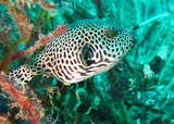 Map pufferfish dibba diving musandam oman