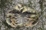 lagoon crab from new caledonia reef crab box diving nature arthropode