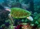 CARETTA CARETTA - Oman sea