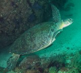 huge turtle in oman musandam diving
