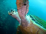 Turtle caretta carreta - Oman sea