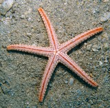 Celerina heffernani Pebbled sea star New Caledonia living reef areas