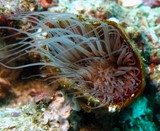 coloured tube anemone - Oman sea - Pearl Island