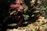 Indian Ocean twospot cardinalfish - Oman - mussandam - octopus rock