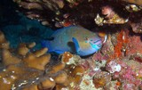 Daisy parrotfish oman sea musandam diving Poisson Perroquet mer d'Oman
