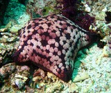 Pin-Cushion Sea Star - Oman sea - Ras Lima