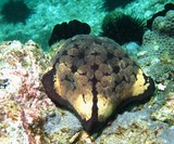 cushion-star - oman sea - mussandam