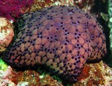 spiny cushion star - Oman sea - mussandam