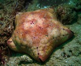 spiny cushion star - Oman - Ras lima