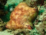 cushion-star - Oman - Ras lima