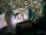 Diodon hystrix Porcupinefish Oman sea diving diodontidae fish