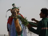 Al Wathba Camel Race - Madinat Zayed - UAE