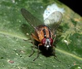 Dichaetomyia elegans bush fly New Caledonia insect picture