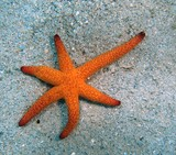Red Starfish Red Sea Star new caledonia lagoon noumea diving black spot sand lemons bay
