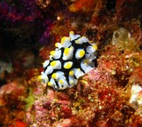 phyllidia fryeria picta sea slug Oman Musandam nudibranch