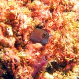 GULF BLENNY - Lima rock - Oman sea