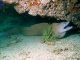 blackblotched moray - Lima Rock south - Peninsule Musandam - Sultanate of Oman