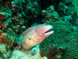 Geometric moray - Dibba - Oman sea