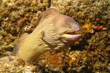 Starry moray - Mussandam Peninsula - Sultanate of Oman