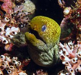 Undulated moray - Oman sea - mussandam peninsula