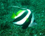 Heniochus acuminatus Longfin bannerfish poisson cocher commun Oman Mussandam diving fish