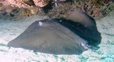 Jenkins' whipray on a sand oman sea diving center musandam himantura jenkinsii queue broken