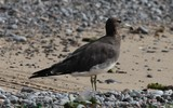 Ichthyaetus hemprichii Sooty Gull bird in the United Arab Emirates birds on sand and stone beach