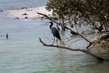 Egretta on a branch Abu Dhabi Mangrove beach Ressort United Arab Emirates