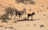 Donkey female and her calf Abu Dhabi desert sand United Arab Emirates